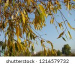 a weeping willow branches a...   Shutterstock . vector #1216579732