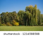 weeping willow in a clearing in ...   Shutterstock . vector #1216588588