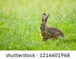 Stock photo european brown hare lepus europaeus sitting in a meadow germany 1216601968