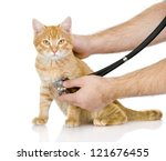 Stock photo veterinarian hand examining a cat looking at camera isolated on white background 121676455