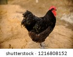 meat egg breed of chickens.... | Shutterstock . vector #1216808152