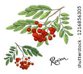 rowanberry branches with leaves ... | Shutterstock .eps vector #1216856305