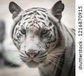 close up of white tiger  | Shutterstock . vector #1216870915