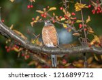 robin perched in a tree | Shutterstock . vector #1216899712