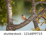 robin perched in a tree | Shutterstock . vector #1216899715