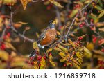 robin perched in a tree | Shutterstock . vector #1216899718