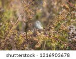 warbler perched on a plant | Shutterstock . vector #1216903678