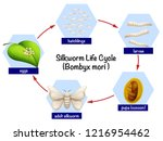 silkworm life cycle diagram... | Shutterstock .eps vector #1216954462
