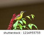 olive backed sunbird of female... | Shutterstock . vector #1216955755