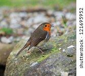 a robin eating food | Shutterstock . vector #121695952
