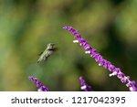 one annas hummingbird  in...   Shutterstock . vector #1217042395
