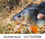perch fish. russian bass on a... | Shutterstock . vector #1217103388