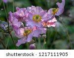 anemone hupehensis japonica...   Shutterstock . vector #1217111905