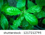 young coffee plants | Shutterstock . vector #1217212795