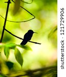 Small photo of Silhouette of the Rufous-tailed Hummingbird (Amazilia tzacatl) perched on a branch