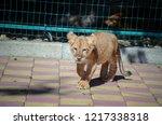 Cute Little Lion Kitten At The...