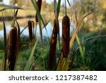 close up of reeds. dark brown...   Shutterstock . vector #1217387482