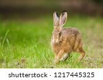 Stock photo european brown hare lepus europaeus running in a meadow germany 1217445325