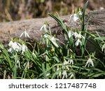 beautiful galanthus  snowdrop ... | Shutterstock . vector #1217487748