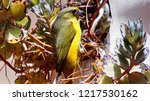 thick billed euphonia watching... | Shutterstock . vector #1217530162