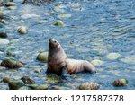 steller's sea lion  eumetopias...