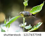 a goldfinch perches on a branch ... | Shutterstock . vector #1217657548