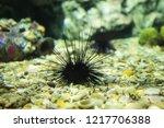a black long spine urchin ... | Shutterstock . vector #1217706388