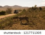 two lionesses seeing the safari ... | Shutterstock . vector #1217711305