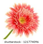 Stock photo beautiful gerbera flower isolated on white 121774096