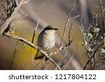 australian singing honeyeater... | Shutterstock . vector #1217804122