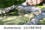 black crowned night heron | Shutterstock . vector #1217887855