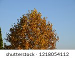 autumnal deciduous tree as a... | Shutterstock . vector #1218054112