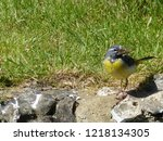 Grey Wagtail Standing On Rocks...
