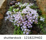 "Thymus Praecox ""highland Cream"" ..."