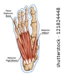 flexor digitorum brevis  ... | Shutterstock .eps vector #121824448