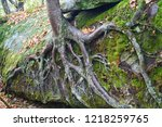 Birch Tree Roots Growing On...