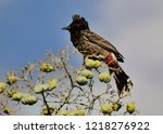 red vented bulbul  a bird with... | Shutterstock . vector #1218276922