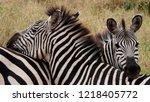 two zebras entwined  tarangire... | Shutterstock . vector #1218405772