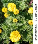 lawn with flowers marigolds. | Shutterstock . vector #1218425035