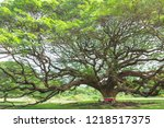 big tree in kanjanaburi... | Shutterstock . vector #1218517375