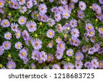 field with purple flowers | Shutterstock . vector #1218683725