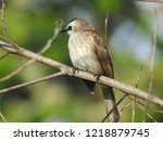 the bulbuls are a family ... | Shutterstock . vector #1218879745