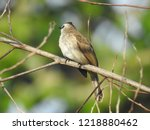 the bulbuls are a family ... | Shutterstock . vector #1218880462