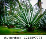 agave  scientific name agave... | Shutterstock . vector #1218897775