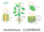plant structure and cross... | Shutterstock .eps vector #1218988405