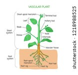 vascular plant biological... | Shutterstock .eps vector #1218988525