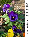 pansy  scientific name is viola ... | Shutterstock . vector #1219121908