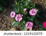 scientific name is dianthus. | Shutterstock . vector #1219123375