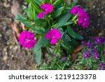 scientific name is dianthus. | Shutterstock . vector #1219123378