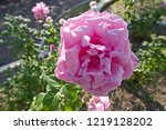 this rose is named la france. | Shutterstock . vector #1219128202